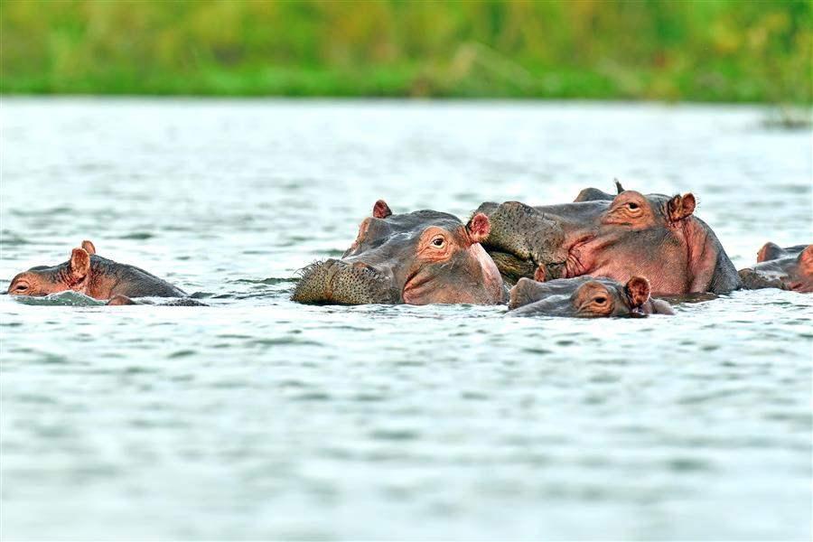 Hippopotamus south africa