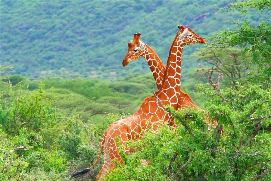 TwoGiraffes