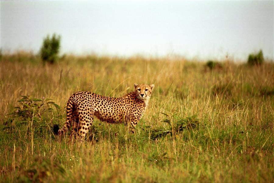 Kenya Cheetah#