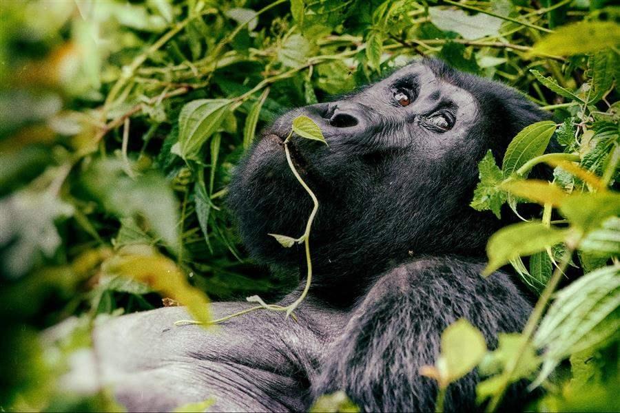 Uganda Bwindi Gorilla