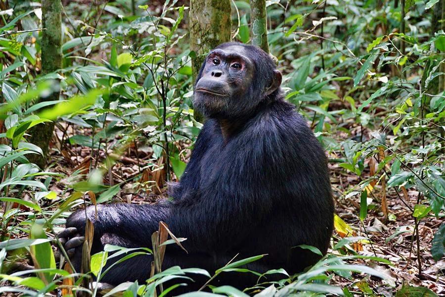 Uganda Kibale Chimp