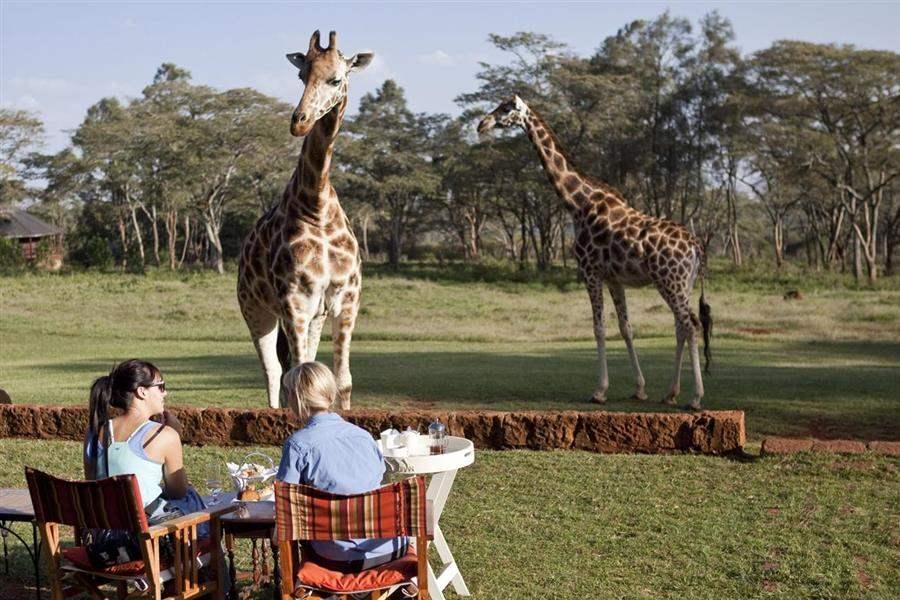 GiraffeManorFeeding