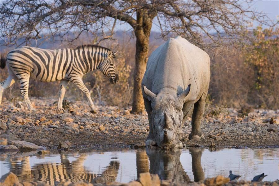 RhinoWaterHolte