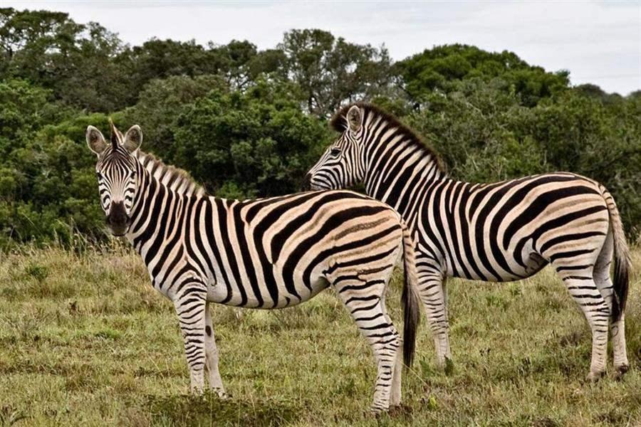 Amakhala Bush Lodge Zebras