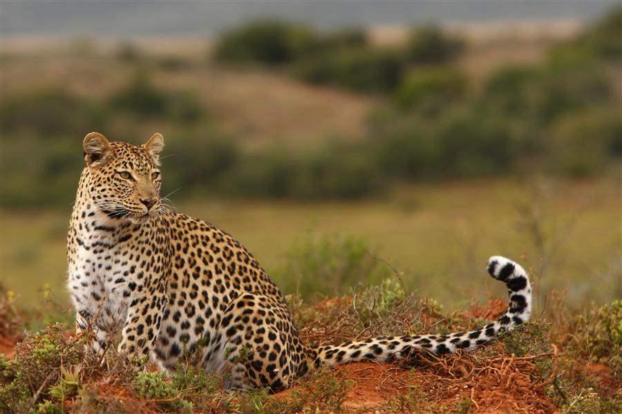 Shamwari Bayethe Lodge Leopard