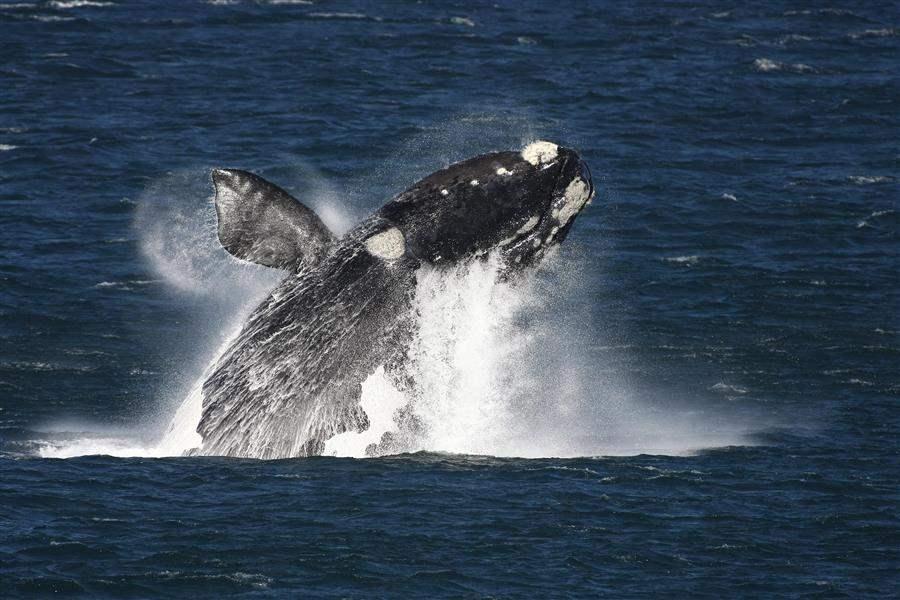 Marine Hermanus Whales