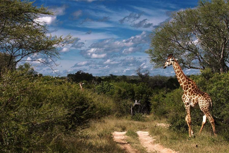 Lion Sands River Lodge Bush Giraffes