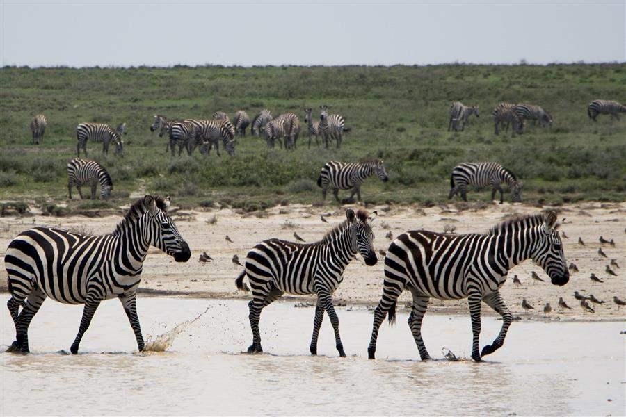 SerengetiZebra