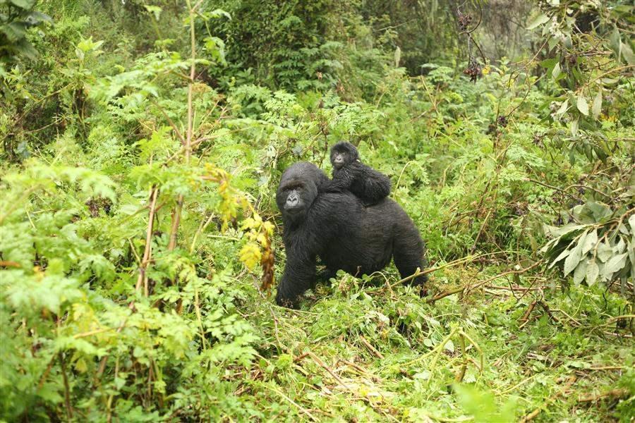 GorillaSelfie