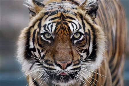 tiger face india
