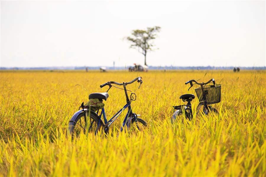 CyclePaddyFields