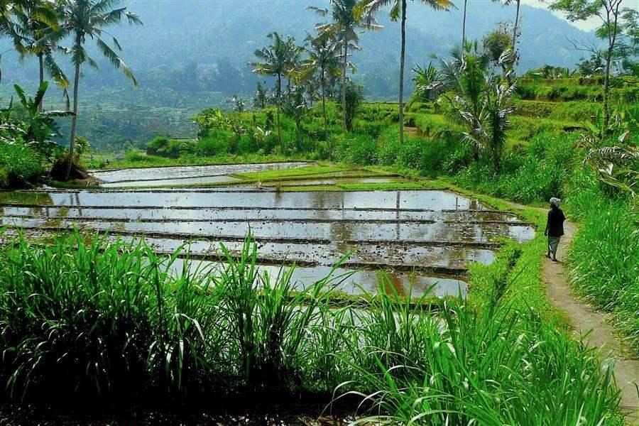 Alila Manggis Rice Paddies