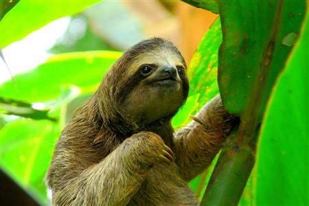 Sloth in banana tree Costa Rica