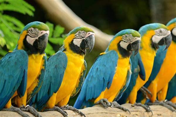 Brazil Parrots