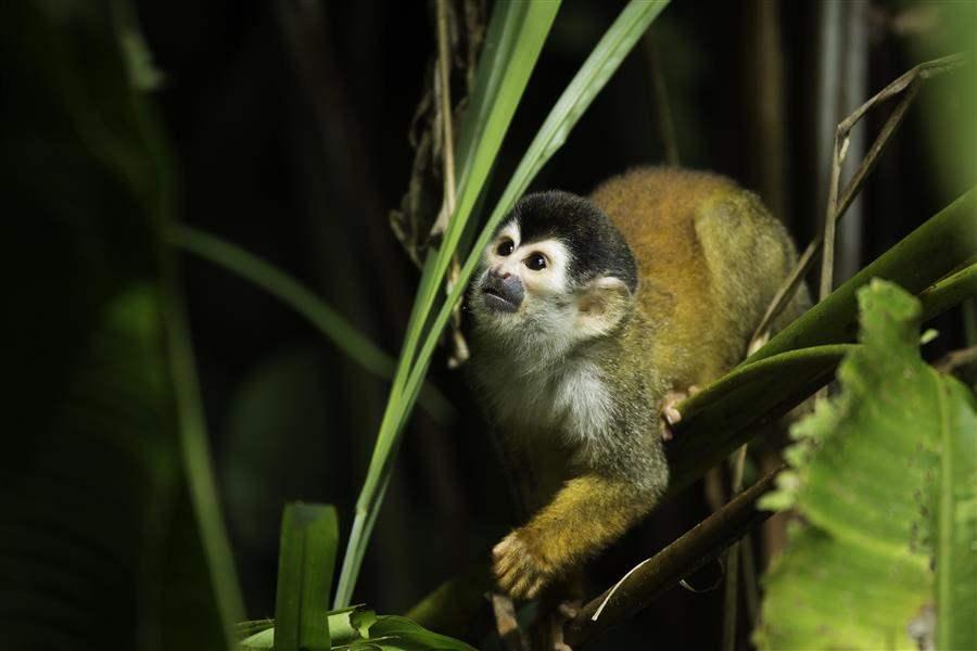 Casa Corcovado monkey