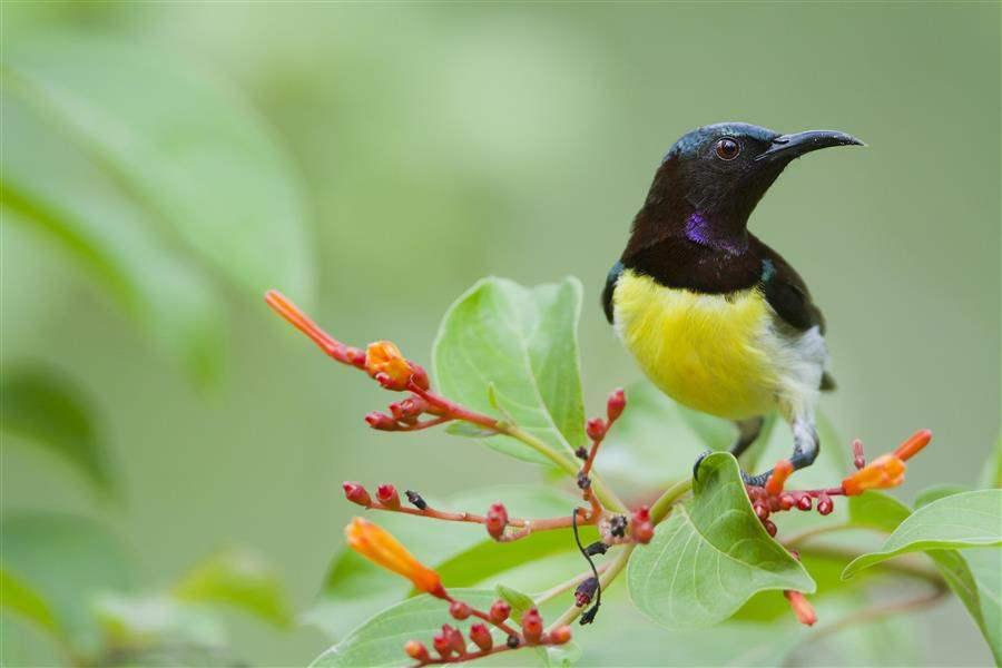 PurpleSunbird