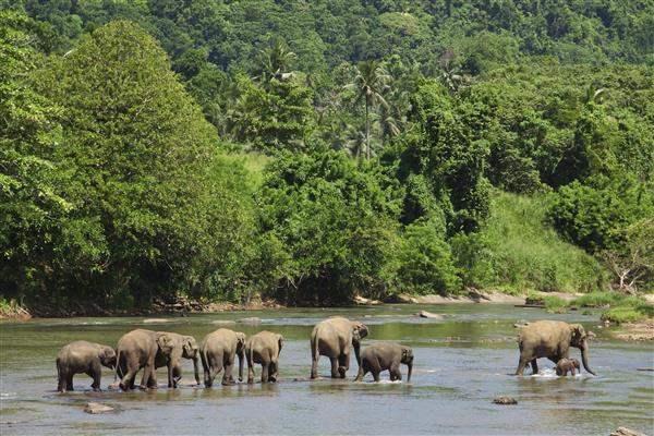 elephants in river at pinnawela sri lanka