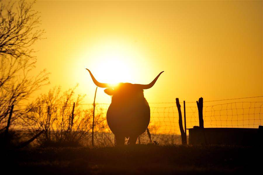 Texas ranch longhorn sunset