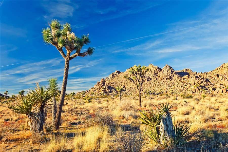Mojave Desert California Joshua Tree