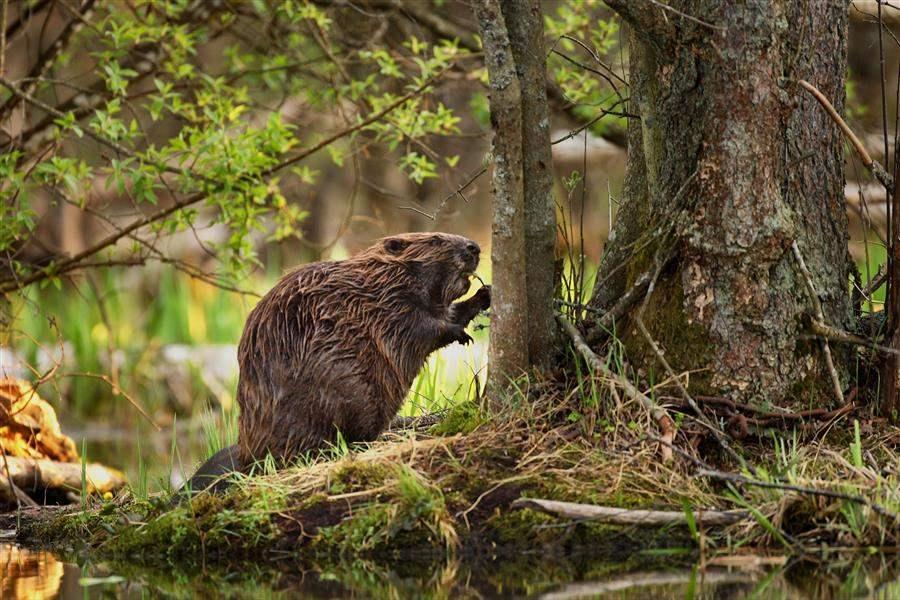Beaver New England