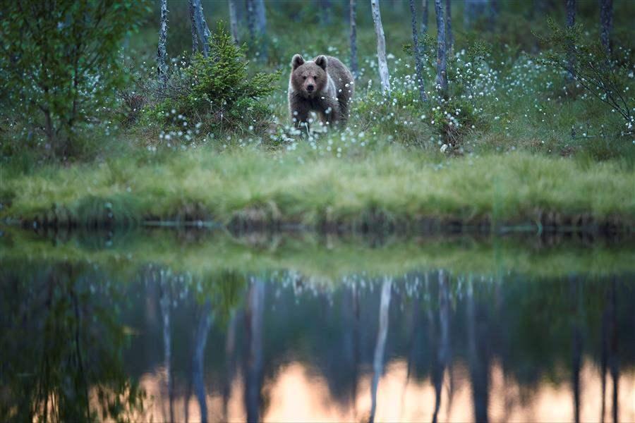 Bear cub Jasper BC