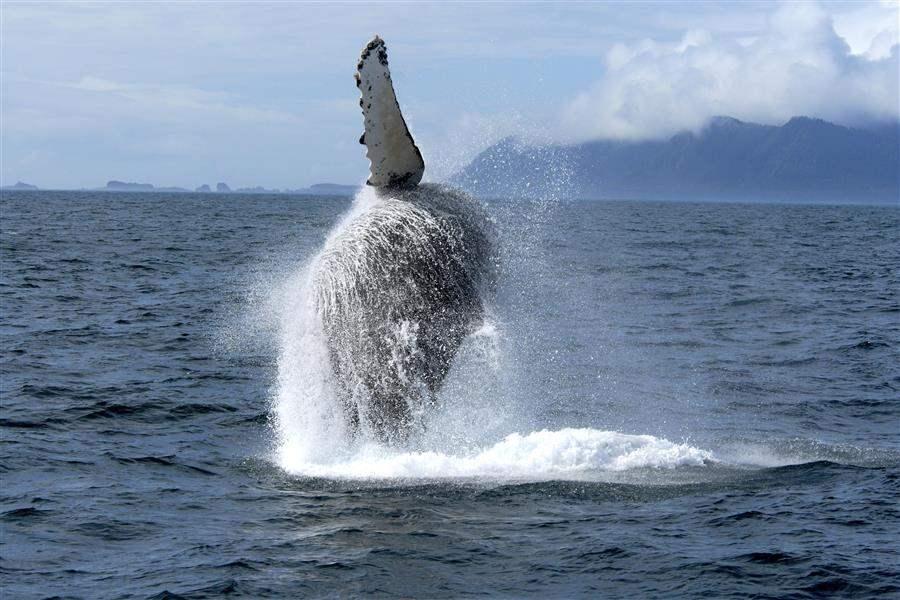 Whale Watch Alaska Humpback