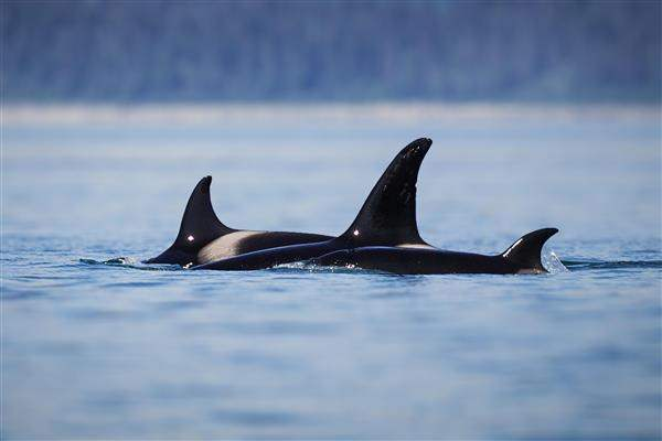 Whales, Bears and Vancouver Island