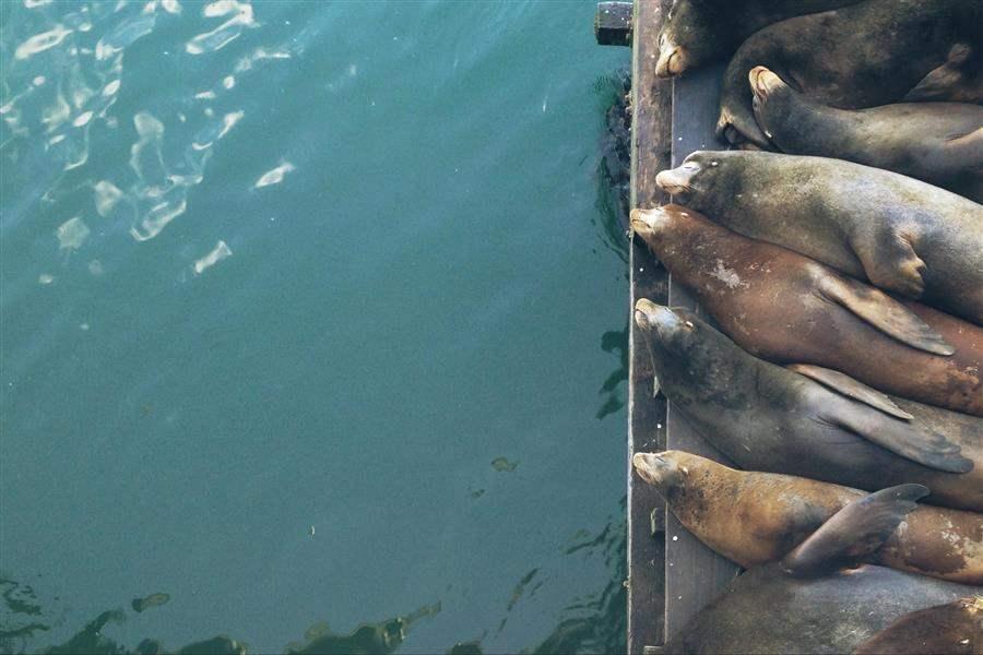 Fishermans Wharf Seals